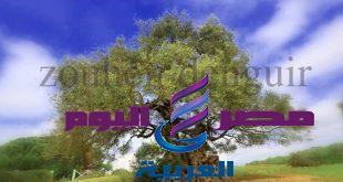 شجرة الزيتون المباركة والأقدم في العالم