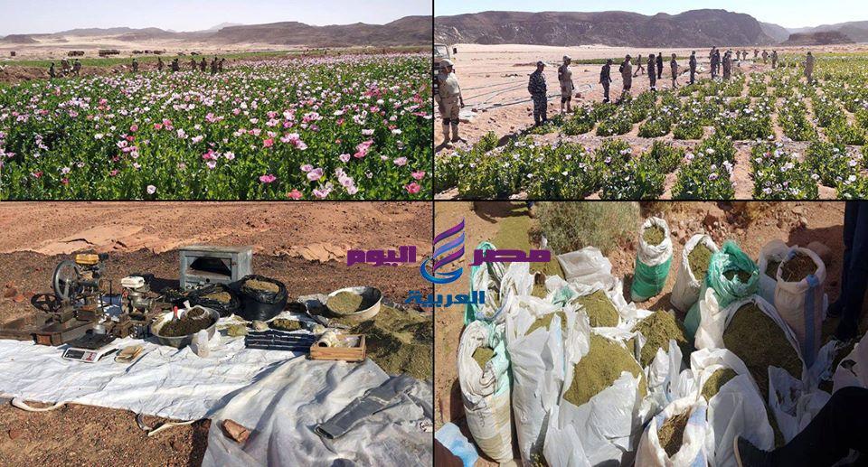القوات المسلحة بالتعاون مع وزارة الداخلية تنظم حملة مكثفة للقضاء على الزراعات المخدرة بشبه جزيرة سيناء | القوات المسلحة
