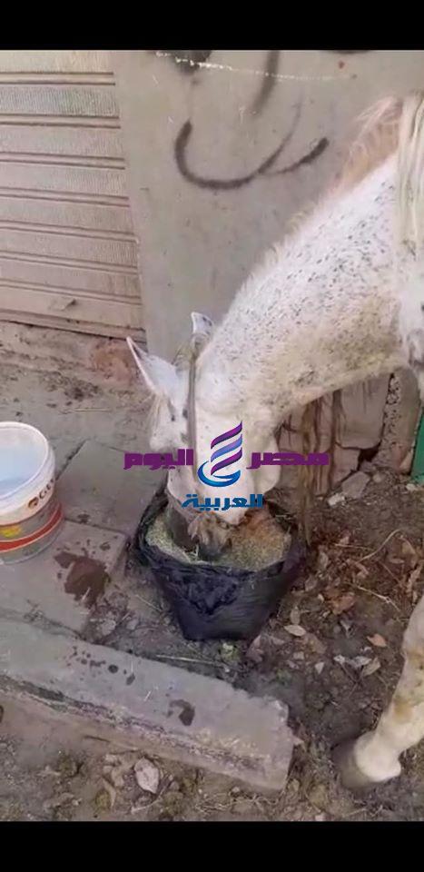 بالصور مبادرة إطعام الخيول في الأقصر لمساعدة سائي الحنطور بسبب تأثر السياحة بكورونا